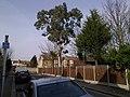 Eucalyptus - geograph.org.uk - 1737054.jpg