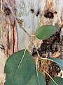 Eucalyptus amplifolia - bark and leaves.jpg