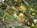 Eucalyptus camaldulensis 09.JPG