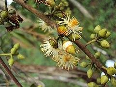 240px eucalyptus camaldulensis 09