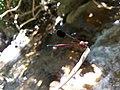 Euphaea fraseri, Malabar torrent dart 4.jpg