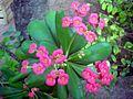 Euphorbia Flower show 13.JPG
