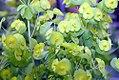 Euphorbia amygdaloides Orange Grove 0zz.jpg