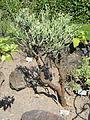 Euphorbia aphylla - Botanischer Garten, Frankfurt am Main - DSC03162.JPG