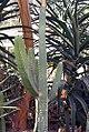 Euphorbia canariensis 3zz.jpg