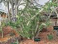 Euphorbia genoudiana (Jardin des Plantes de Paris).jpg