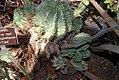 Euphorbia horrida Major 0zz.jpg