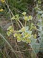 Euphorbia paralias 005.JPG