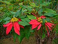 Euphorbia pulcherrima 001.JPG