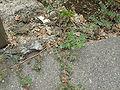 Euphorbia supina 2.JPG