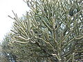 Euphorbia tirucalli 003.jpg