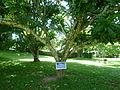 Evergreen Magnolia (Magnolia Sphenocarpa-Magnoliaceae).JPG