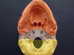 Base of skull - Exobasis