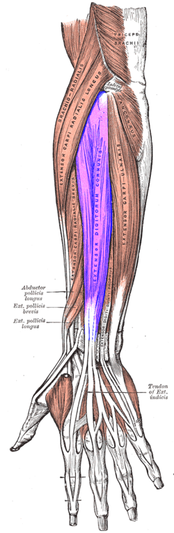 Extensor Digitorum Muscle Wikipedia