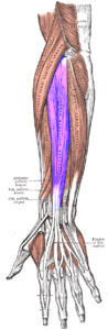 Extensor digitorum muscle.png