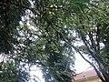 Fabales - Gleditsia triacanthos - 3.jpg
