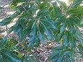 Fagales - Quercus robur - 011.jpg