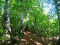 Fagus crenata in Mount Sanpokuzure 2008-05-27.jpg