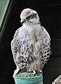 Falco cherrug cherrug qtl2.jpg