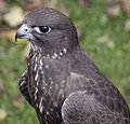 Falcon (3863906575).jpg