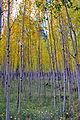 Fall colors 2010 - Yellow Aspen (5057071831).jpg