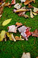 Fallen-leaves-moss - West Virginia - ForestWander.jpg