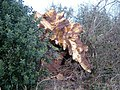 Fallen ash tree at Donisthorpe, Leicestershire.jpg