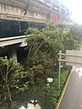 Fallen trees in Shenzhen due to 2018 Typhoon Mangkhut 01.jpg