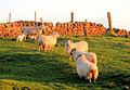 Farming, Isle of Cumbrae - geograph.org.uk - 426969.jpg