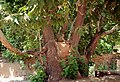 Fars - Eqlid - The big tree - panoramio.jpg