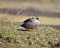 Fat little spot-billed duck.jpg