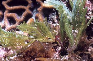 Caulerpa - Feather algae, Caulerpa sertularioides at 11 meters depth on ridge