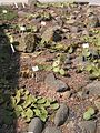 Feigenkaktus (Opuntia phaeacantha) 01.jpg