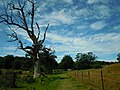 Felbigg Estate Dead Oak Tree 29 July 2014 (1).JPG