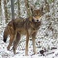 Female Red Wolf in the snow.jpg