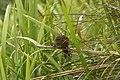 Fernbird (Mātātā) Crouched.jpg