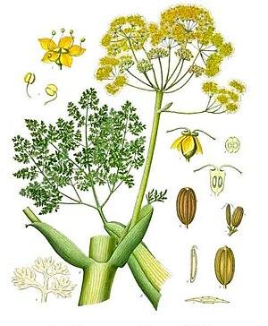 Galbanum - Ferula gummosa, from which galbanum comes.