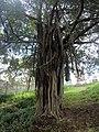 Ficus Mugumo tree at Uhuru Park in Nairobi.jpg
