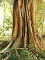 Ficus buttress roots.jpg