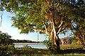 Ficus sycomorus12.jpg