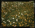 Field of daisies and orange flowers, possibly hawkweed, Vermont LCCN2017878569.tif