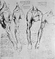 Fig. 40 Leonardo da Vinci the anatomist from McMurrich Wellcome M0010882.jpg