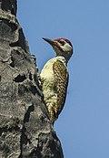 Fine-spotted Woodpecker - Gambia (32497633812).jpg