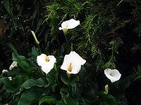 Fiori di calla. Foto Giovanni Dall'Orto, 1-June-2006 1