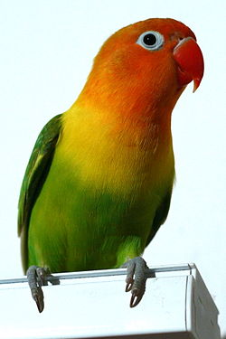 Fischer's Lovebird, (Agapornis fischeri) perching on a box.jpg