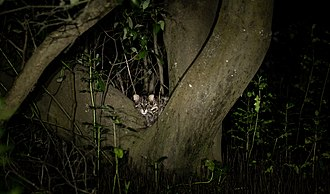 Fishing cat - A fishing cat in the Godavari mangroves at night