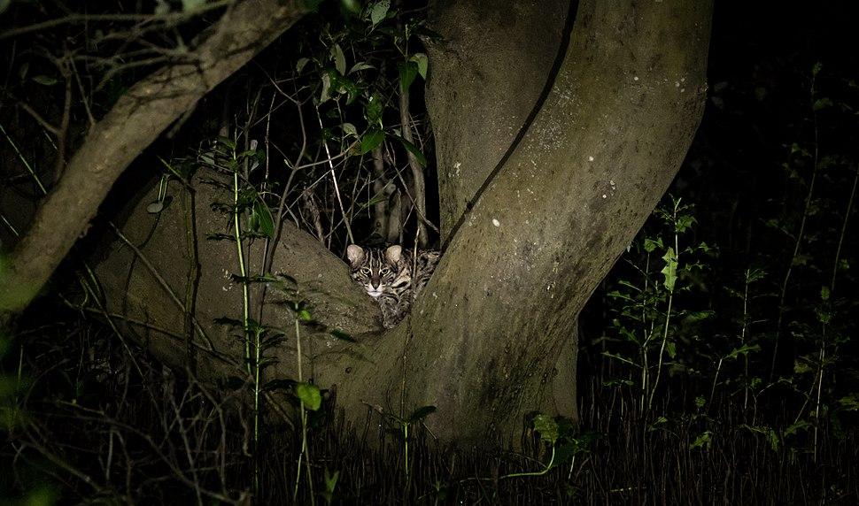 Fishing cat in Godavari mangroves