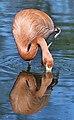 Flamingo (7319562754).jpg