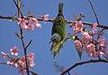 Flickr - Dario Sanches - SAÍ-AZUL fêmea (Dacnis cayana).jpg