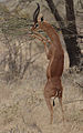 Flickr - Rainbirder - Gerenuk male.jpg